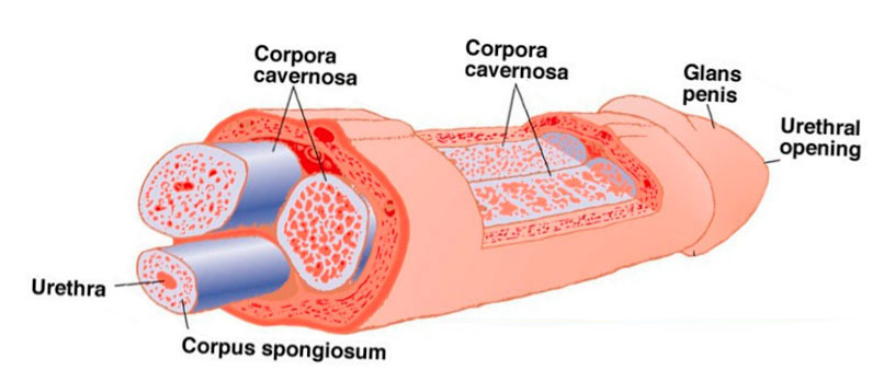 Penile Cancer Causes Symptoms